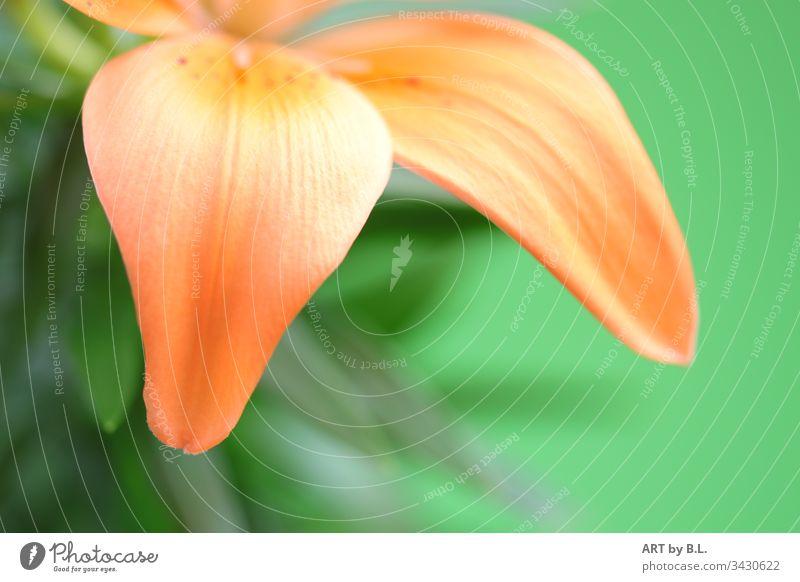 Blütenblätter einer Lilie blume blumig textfreiraum ohne menschen blatt blütenblätter natur lilie lilienblüte lilienblätter zart edel natürlich