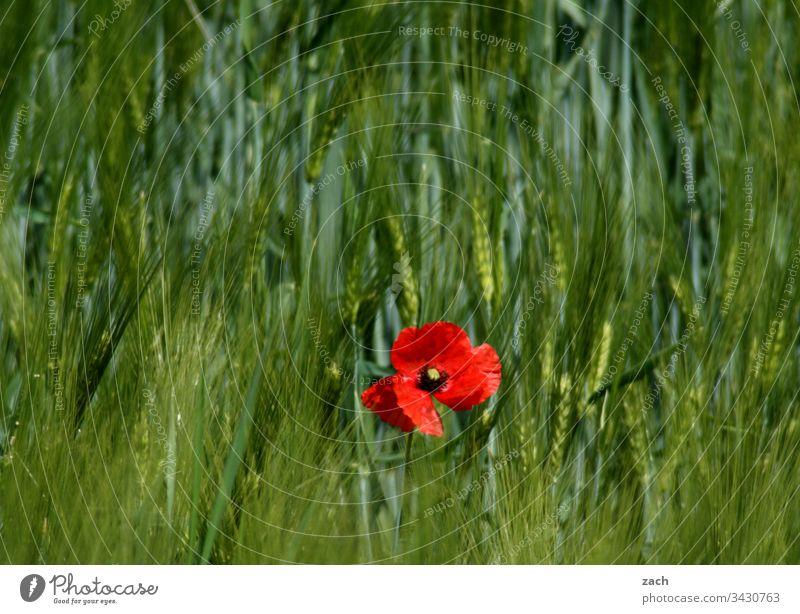 hier riechts doch nach... l Frühling Mohn Wiese Feld Weizen Weizenfeld Getreide grün Nutzpflanze Landwirtschaft Außenaufnahme Natur Pflanze Farbfoto