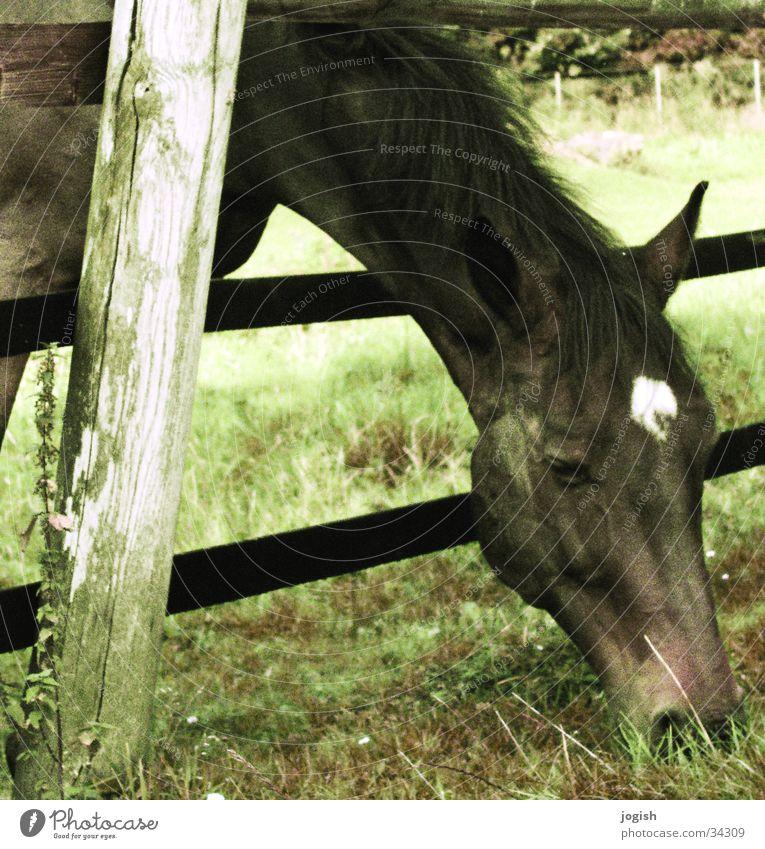 Vintage horse Pferd Fressen Weide Wiese gefangen Verkehr alt