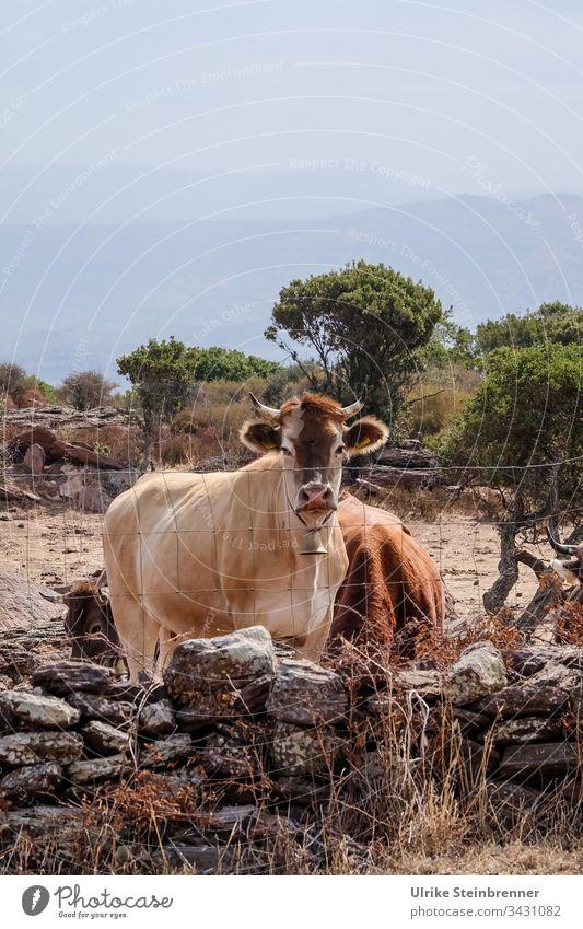 Hörnertragende Kuh mit Glocke auf Sardinien Kuhglocke Landwirtschaft Farm Bauernhof Milchwirtschaft Mauer Zaun Herde Hochebene Hof Viehhaltung Viehzucht Blick