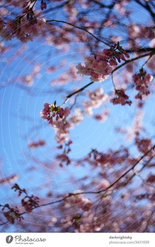 Sakura japanische Kirsch Blüte bei strahlend blauem Himmel Frühling Japan weiß Kirsche rosa Jahreszeiten Nahaufnahme Japanisch Natur blauer Jugendlich Garten