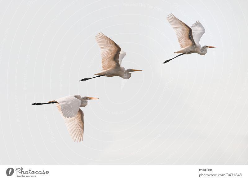 Silberreiher Vogel Schwarm fliegen Menschenleer Außenaufnahme Himmel Natur Wildtier Tag Farbfoto Tier trio