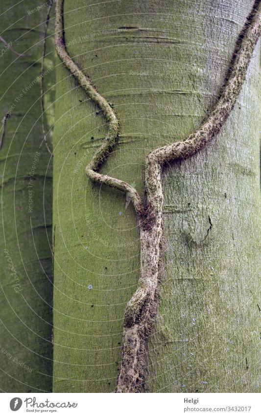 bizarrer dicker Ast einer Efeu-Pflanze ohne Blätter klammert sich an einen Baumstamm Stamm Rinde Natur Umwelt menschenleer Wald Farbfoto natürlich grün braun