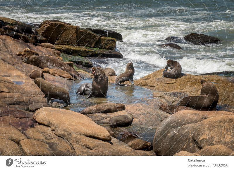 Ich bin der Herr der Pfütze brüllt der Seelöwe auf den Felsen, die Brandung rollt unbeeindruckt weiter Fauna Seelöwen Wellen Meer Wasser Gischt Menschenleer