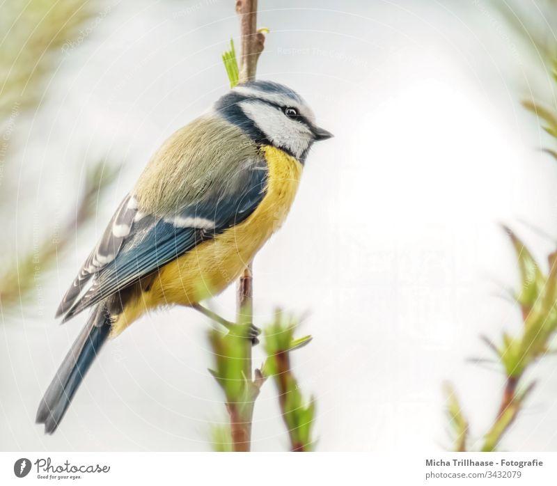 Blaumeise an einem Zweig Cyanistes caeruleus Meisen Vogel Tiergesicht Kopf Schnabel Auge Feder gefiedert Flügel Krallen Wildtier Zweige u. Äste Schönes Wetter