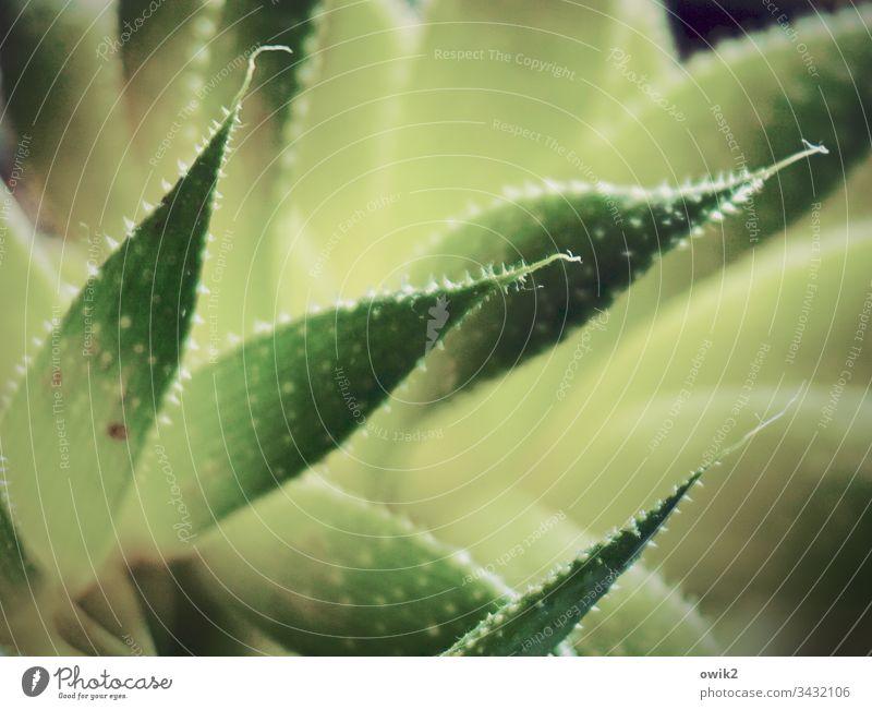 Stachelig Agave Blätter spitz stachelig schwache Tiefenschärft Natur grün Pflanze Nahaufnahme Farbfoto Außenaufnahme Menschenleer Detailaufnahme