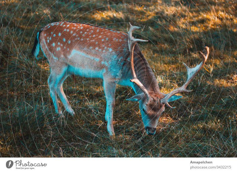 Dammwild beim grasen Jagd Hirsche Rehkitz dammwild Wildtier Wald Waldboden Herbst Frühling Umwelt Natur Heimat Jungtier Spaziergang Tier Tierfoto Säugetier