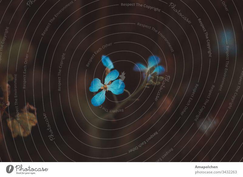 blaue Blüten auf dunklen Hintergrund Blütenpflanze Pflanze Blume Außenaufnahme Blütenblatt Blütenknospen Natur Detailaufnahme Makroaufnahme Frühling Nahaufnahme