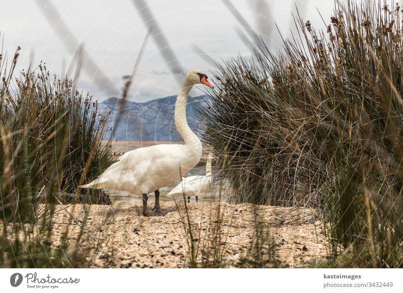 Singschwan im natürlichen Lebensraum. Schwäne sind Vögel der Familie Anatidae innerhalb der Gattung Cygnus wild cygnus Cygnus cygnus Vogel Natur See Tierwelt