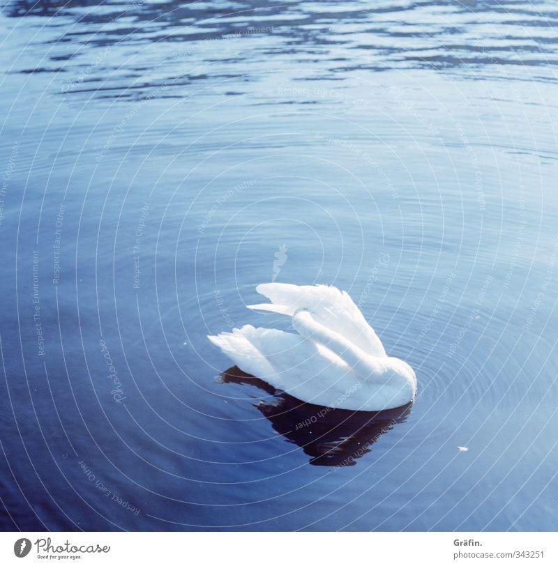 Schwanensee Wasser See Wildtier 1 Tier Sauberkeit blau weiß ästhetisch Erholung Körperpflege rein ruhig unschuldig Farbfoto Außenaufnahme Menschenleer