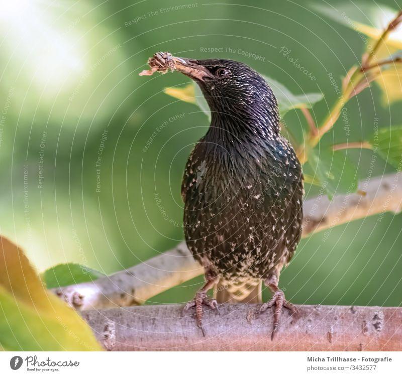 Star mit Futter für den Nachwuchs Vogel Sturnus vulgaris Tiergesicht Schnabel Flügel Krallen Feder Fressen Auge Wildtier Baum Zweige u. Äste Blatt glänzend