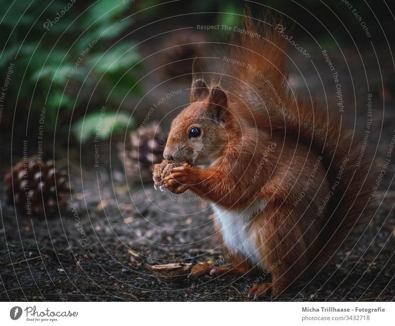 Fressendes Eichhörnchen auf dem Waldboden Sciurus vulgaris Wildtier Tiergesicht Fell Nagetiere Pfote Krallen Schwanz Ohr Tierporträt Tannenzapfen Nahaufnahme