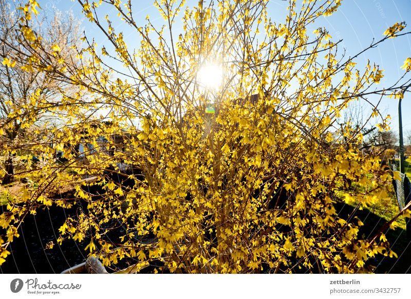 Forsythien ast außen blume blühen blüte erholung ferien frühjahr frühling garten himmel kleingarten kleingartenkolonie menschenleer natur pflanze ruhe