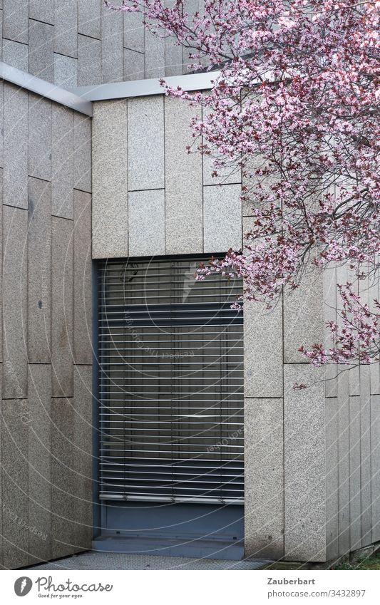 Rosa Kirschblüten im Frühling vor einer grauen Fassade aus Granitplatten und einem bodentiefen Fenster, das von einer Jalousie mit Lamellen verhangen ist Blüten