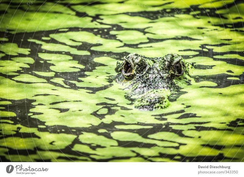 Tarnung in Perfektion Natur grün Tier schwarz gelb See Wildtier warten gefährlich Fluss Tiergesicht Appetit & Hunger Zoo Bach Teich Wasseroberfläche