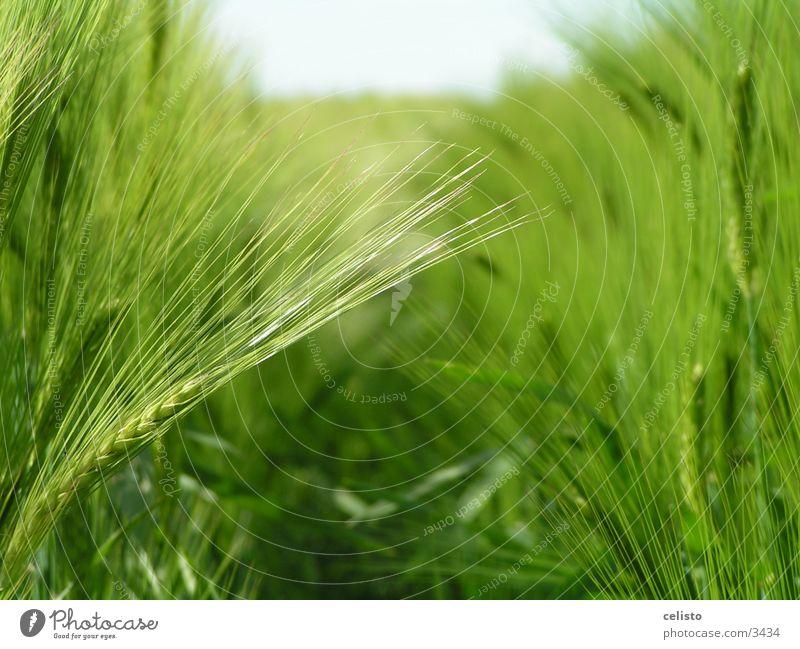 Gerstenfeld grün Wiese Landschaft Feld Ernte Gerste Getreide