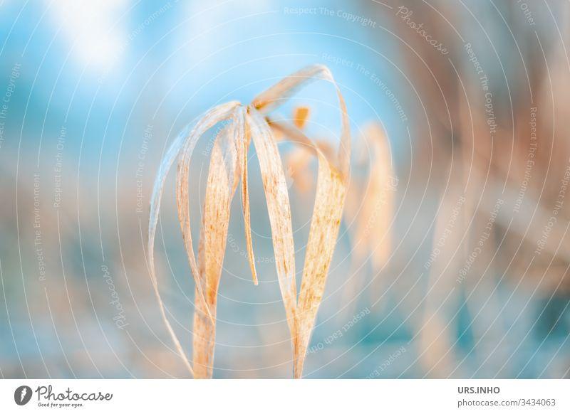 Schilfgras weht im Morgennebel Schilfrohr rötliches Gras Schlag hell-blau beige zarte Farben Schwache Tiefenschärfe verschwommener Hintergrund