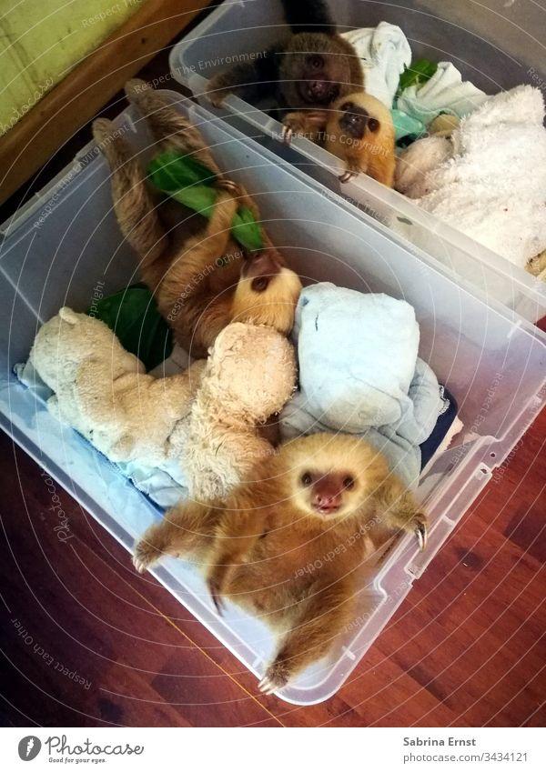 Süßes Baby-Faultier in einer Schachtel niedliches Faultier Fell fluffig Wäscherei Wäscheschachtel Natur wild Costa Rica Tierjunges Kasten süß schön lieblich
