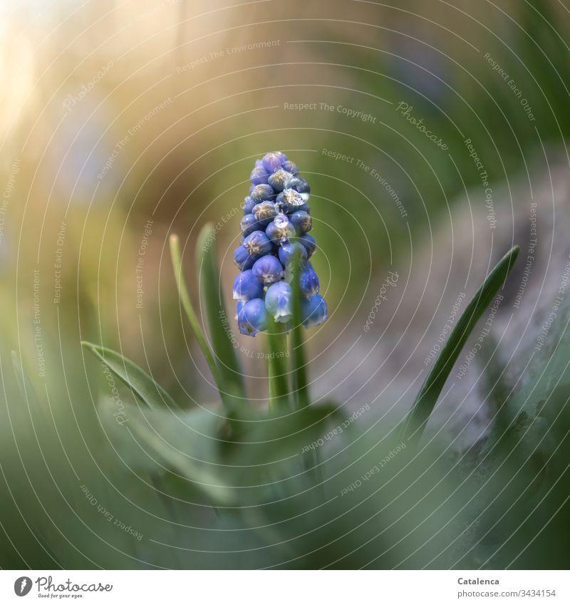 Eine Traubenhyazinthe blüht im Garten, mit Wassertropfen benetzt. Natur Pflanze Blume nass Grün Lila Blau Gelb Frühling Tag Tageslicht klein Blüte Blühend