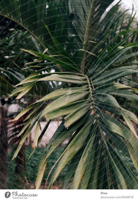 Blätter einer Palme in warmem Licht Urlaub Palmenblätter Reisen Tropen tropisch Natur Ferien & Urlaub & Reisen Pflanze Menschenleer exotisch Außenaufnahme