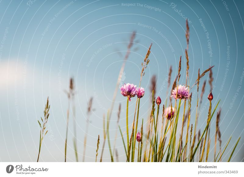Schnittlauch III [scharf] Himmel Natur blau grün schön weiß Pflanze Blume ruhig Wolken Blatt Umwelt Wärme Gras Frühling Blüte