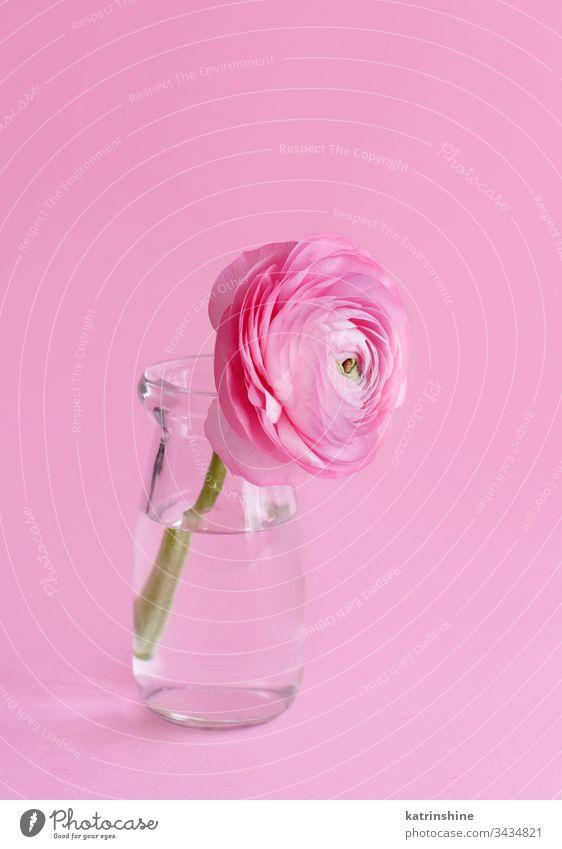 Frühlingskomposition mit einer rosa Blume in einer Glasflasche Freesie Flasche Monochrom Wasser romantisch hellrosa Pastell weiche Farbe abschließen Konzept