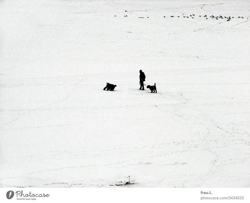 """Den Hunden war es völlig gleichgültig, dass """"Alpha"""" fror, hauptsache sie hatten  ihren Spaß im Schnee, und die Tauben sahen zu. Mann Schwarzweißfoto Haustier"""