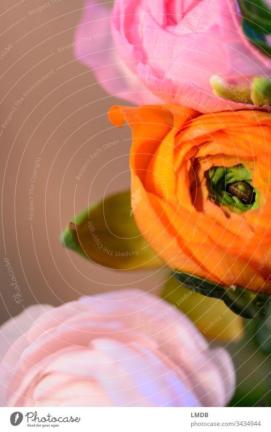 Ranunkeln orange-pink ranunculus Blumenstrauß Blüte blühen rosa grün farbig bunt grelle Farben kräftige Farben Textfreiraum links Frühling Geschenk Dankbarkeit