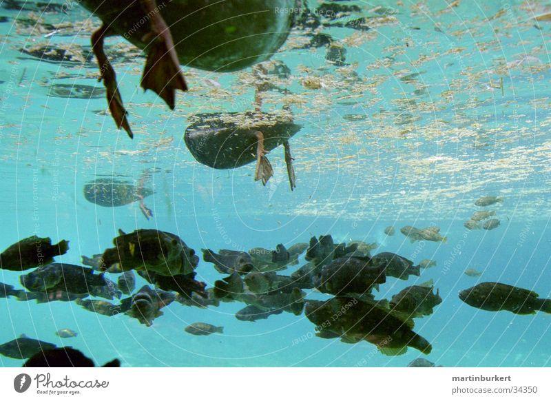 Ententeich Verkehr Unterwasseraufnahme Schwarm Fische blau Entenfüße