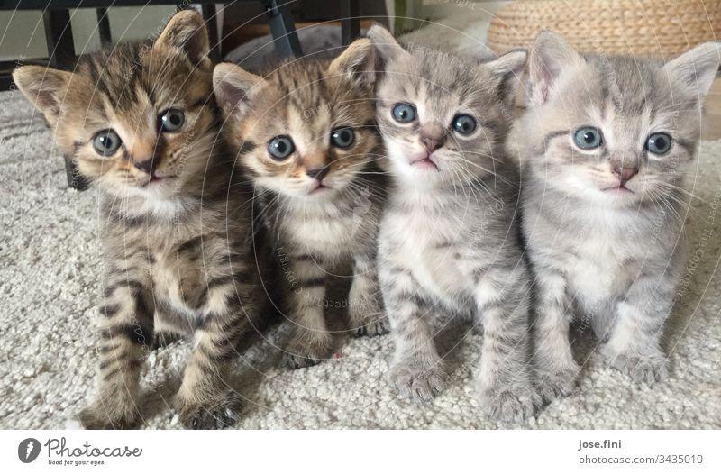 Vier auf einen Streich kitten Katze Geschwister blauäugig Katzenbaby Katzenfreund Katzenzucht Tierzucht niedlich süß frech schauen beobachten neugierig