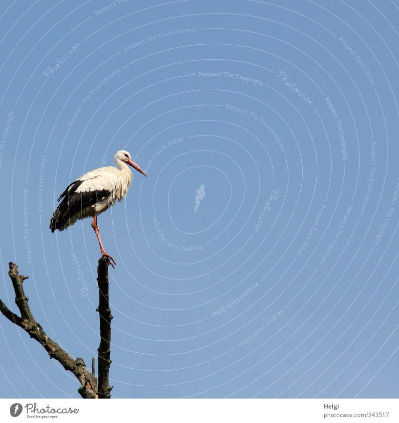 Wachposten... Natur Tier Himmel Wolkenloser Himmel Sommer Schönes Wetter Baum Wildtier Vogel Storch Weißstorch 1 beobachten Blick stehen ästhetisch authentisch