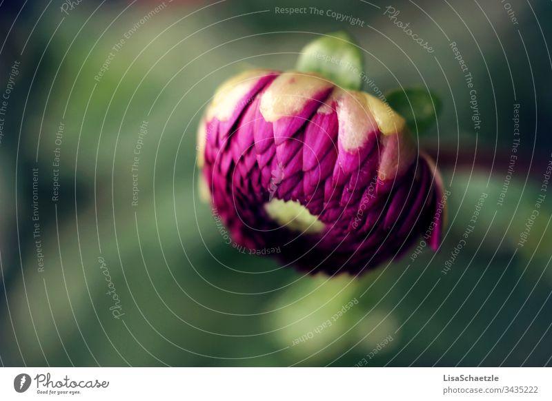 Nahaufnahme von rosaner Dahlie im Garten vor verschwommenen Hintergrund. Dahlien blume natur pflanze sommer feld green garden pink frühling aufblühen flora