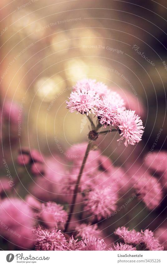 Nahaufnahme von rosaner Pflanze im Garten vor verschwommenen Hintergrund. blume natur pflanze sommer feld green garden pink frühling aufblühen flora schönheit