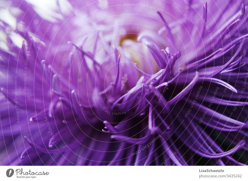 Nahaufnahme von lila Pflanze im Garten. Abstrakte Formen und feine Blütenblätter. blume natur pflanze sommer feld green garden frühling aufblühen flora