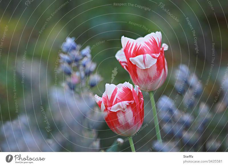 Zwei rot-weiße Tulpen im Frühlingsgarten zwei Garten Blume Blüte Natur mehrfarbig Pflanze blühend Tageslicht Bokeh Tulpenblüte Blütenblätter Frühlingstag