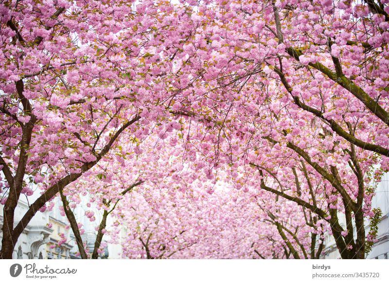 japanische Kirschblüte, Blütenmeer in der Heerstraße in Bonn, Deutschland, Blütenpracht , japanische Kirsche Blühend blütenpracht Kirschblüten formatfüllend