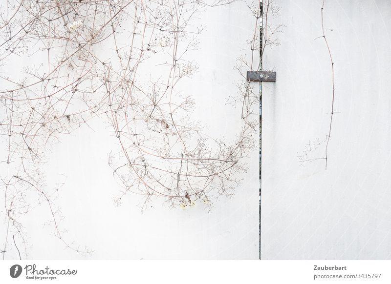 Vertrocknete filigrane Zweige auf hellgrauer Wand mit Spalte und einer Metallklammer Mauer vertrocknet zart weiß Menschenleer Textfreiraum rechts Detailaufnahme