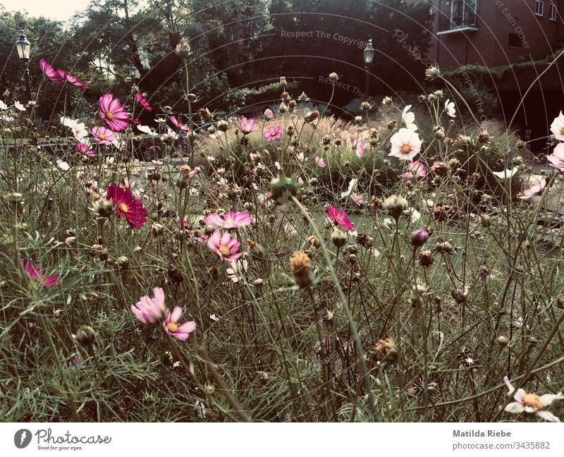 Spätsommerliche Blumenwiese Wiese Sommer Natur Blüte Pflanze grün Außenaufnahme Gras Menschenleer Blühend Wachstum Duft Wiesenblume Blatt Umwelt
