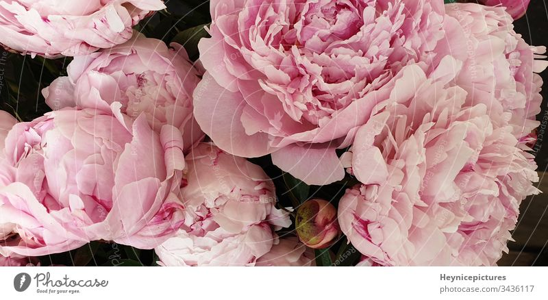 Pink peonies romantic flowers background wallpaper aroma art beautiful beauty birthday bloom blossom botanical bouquet closeup collection color decor decoration