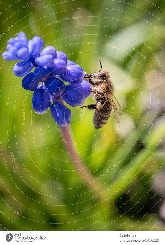 Beim Blütenbesuch einer Traubenhyazinthe sammelt die Biene Pollenkörner Blühend klein Tageslicht Frühling Garten Blau Gelb Lila Grün blüht Blume Pflanze Natur