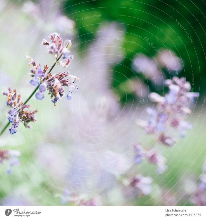 Nahaufnahme von blauer Pflanze im Garten vor verschwommenen Hintergrund. blume natur lila pflanze sommer feld green garden pink frühling aufblühen flora