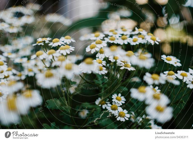 Vollformatig Blühender Kamillenstrauch kamille kräuter heilpflanze Pflanze Menschenleer Kräuter & Gewürze Außenaufnahme grün Gesundheit Kamillenblüten gelb