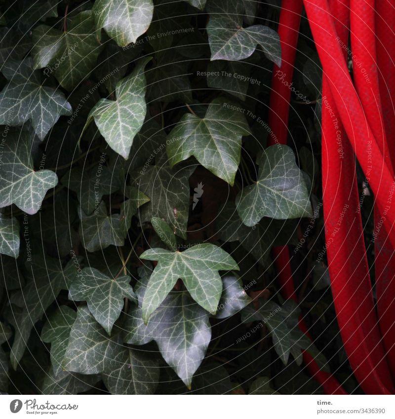 Koexistenz efeu schlauch grün rot hängen kontrast natur wachstum koexistenz garten gartenschlauch bewässerung blatt blätter struktur inspiration