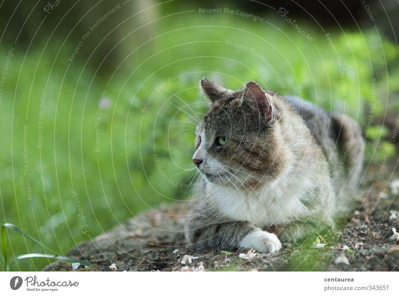 Blaubart Katze Natur alt grün weiß Erholung Tier schwarz Ferne grau Glück Denken Garten braun liegen Kraft