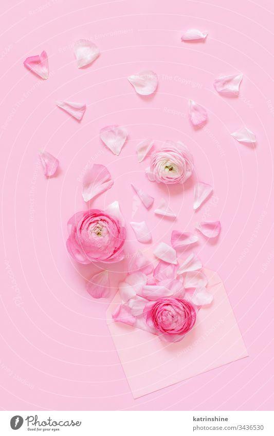 Rosa Hahnenfußblüten und Umschlag auf hellrosaem Hintergrund Blume Blütenblätter Ranunculus Frühling Kuvert romantisch Pastell flache Verlegung Monochrom