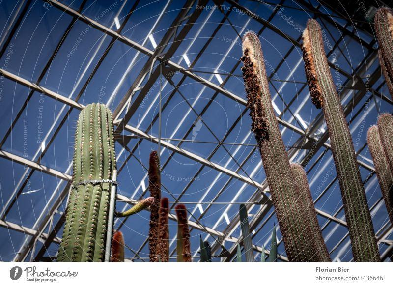 Große Kakteen in einem Gewächshaus unter einem Glasdach Botanischer Garten Artenvielfalt Aufzucht Ausstellung grün Pflanze Natur Botanik Innenaufnahme Umwelt