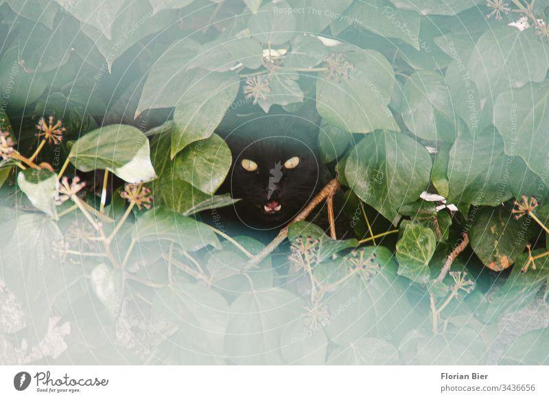 Fauchende schwarze Katze mit leuchtenden Augen blickt aus ihrem Versteck durch ein Loch in der Hecke Kater fauchen gebüsch Tier Haustier Tiergesicht Blick