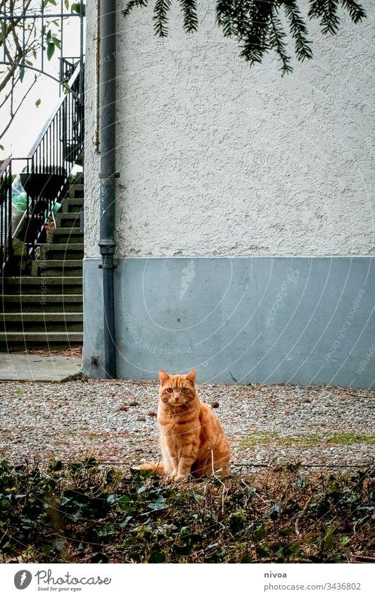 Katze im Vorgarten rot garfield Tier Hauskatze cat Säugetier Fell getigert Schnurrhaar Farbfoto Auge schurrhaare mietzi Freundlichkeit Katzenauge grün Profil