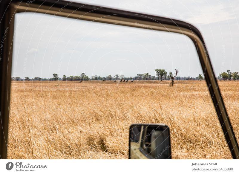 Blick aus Safari-Jeep auf afrikanische Steppe mit freilaufenden Zebras Geländenwagen Autofenster Rückspiegel Grass Feld Acker Dürre Savanne Wildnis Wildtiere