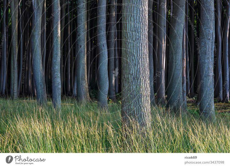 Küstenwald an der Ostsee bei Nienhagen Gespensterwald Bäume Wald Natur Landschaft Mecklenburg-Vorpommern grün Urlaub Reise Reiseziel erholen entspannen Erholung